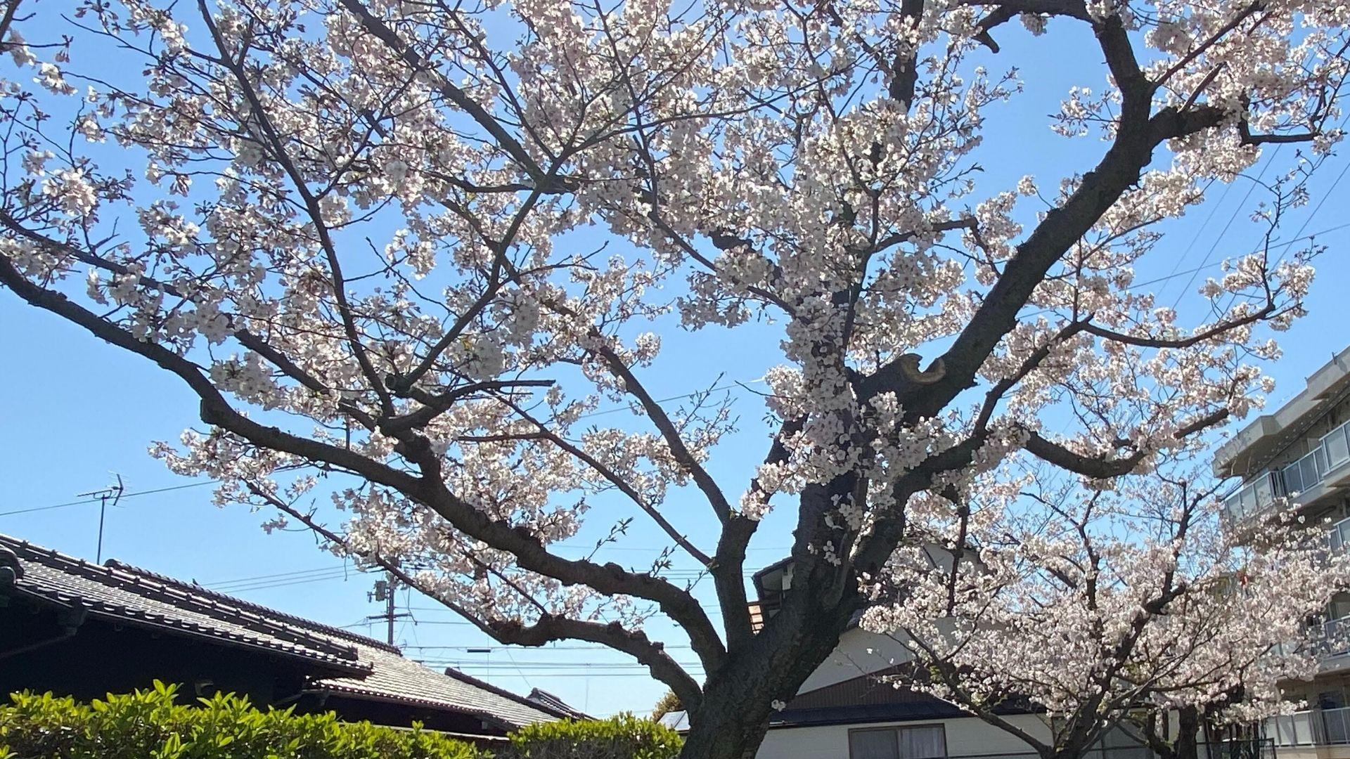 今年は桜も孤独